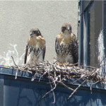 Fresh Pond Update and the Birds